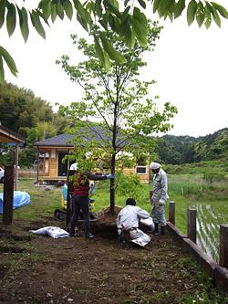 ハナミズキを植える