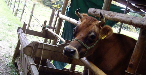 ジャージー牛のミミちゃん