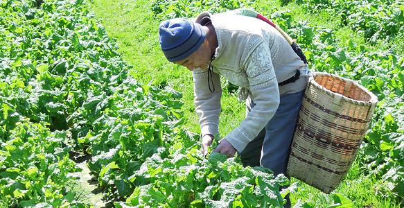 菜花の収穫