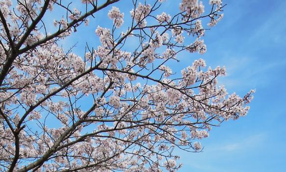 青空をバックに咲き誇る桜の花。新しいことにチャレンジする気力が漲ります。
